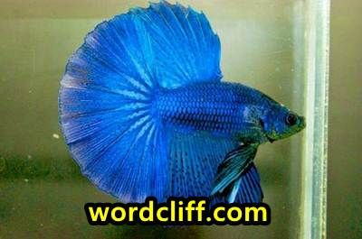 Descriptive Text About Beta Fish or Siammese Fighting Fish