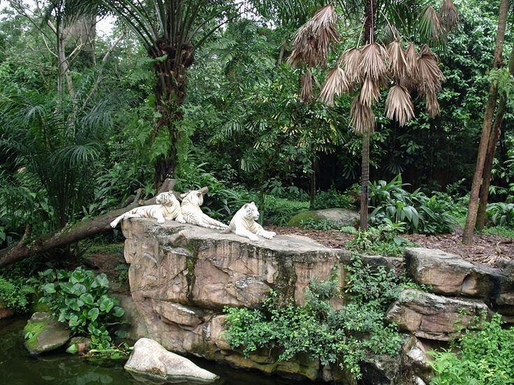 Singapore Zoo White Tigers