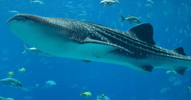 Squali balena, grandi animali in via di estinzione