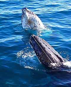 whale watching in Perth Australia