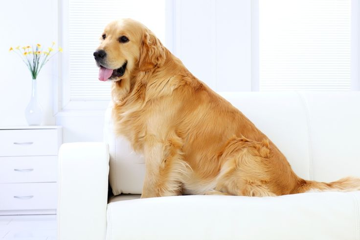 Dez raças de cães de grande porte que se dão bem em apês