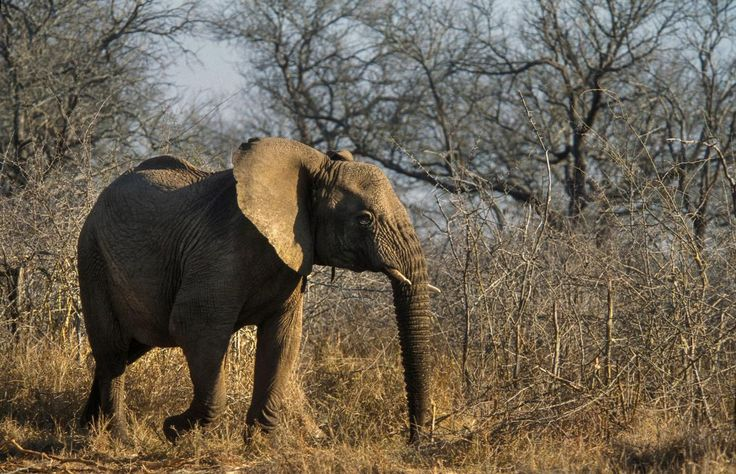 Picture of an elephant in Swaziland