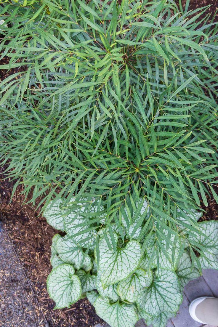 Plant Combo Soft Caress Mahonia and Brunnera-022416DD3 | eGardenGo