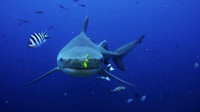VIDÉO Full HD ✅ Îles #Fidji : #plongée face à face avec le #requin #bouledogue ! Plus de #video de #plongee #sous-marine sur → www.Plongeurs.TV