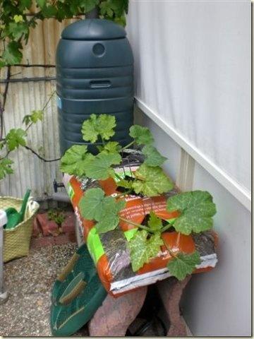 courgettes laten groeien. als de zak volgroeid is, zet je deze op een andere zak aarde.