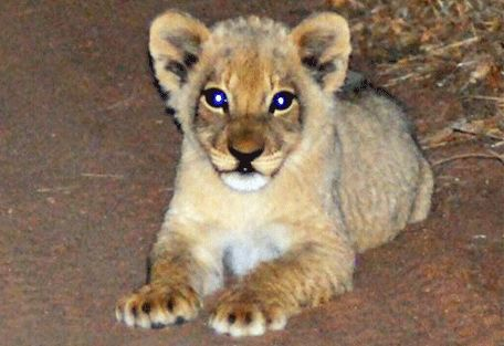 www.sunsafaris.com #nthambo #tree #camp #africa #safari #klaserie #game #reserve #kruger #wildlife #ross #pride #lion #cubs