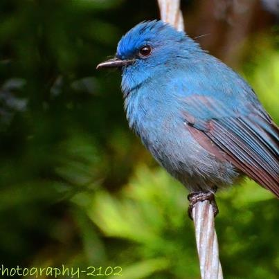 Nilgiris Blue Flycatcher Avalanche, Ooty... By Kiran Kumar