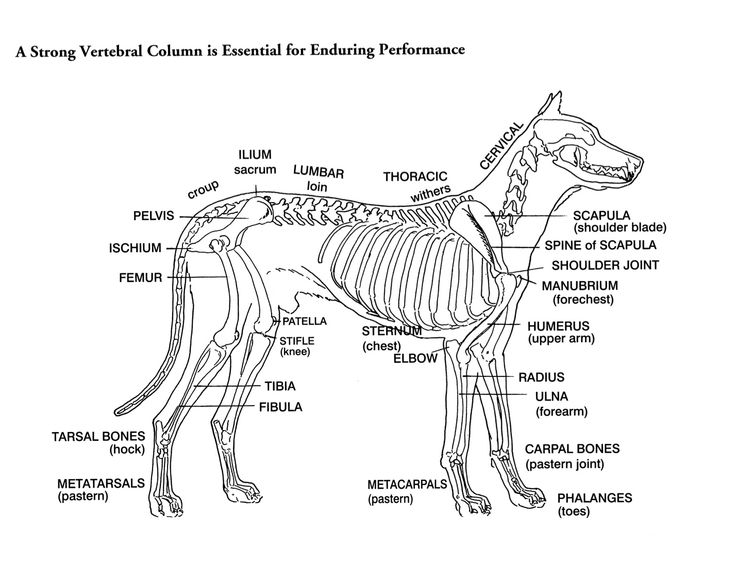 pelvis diagram dog