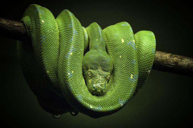 Green Boa - Toronto Zoo