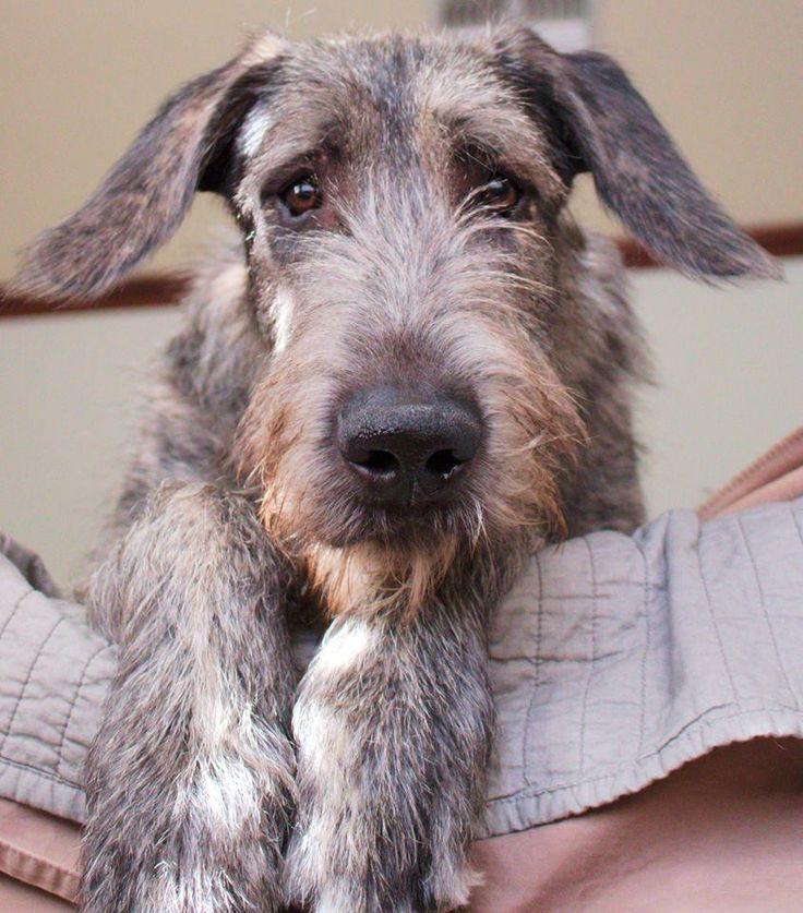 Inquisitive wolfhound puppy