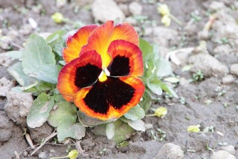 Colored Pansy Flowers