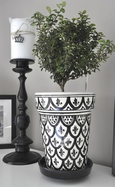 Myrsine in a pot from Rif Design.