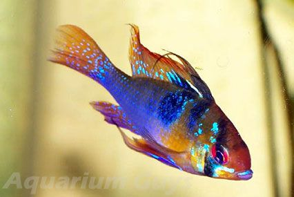 German Blue ram is a small cichilid described as peaceful 10 Most Colorful Freshwater Fish | Home Aquaria