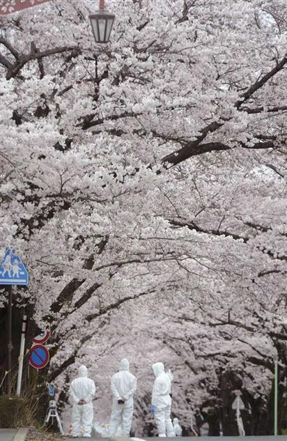 FUKUSHIMA|「無人の町」で桜満開 原発警戒区域の富岡町 - MSN産経フォト