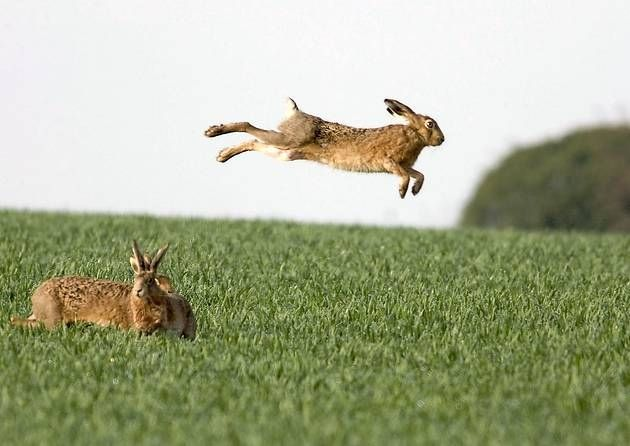 Norfolk wildlife photographer captures leaping hares - Environment ...