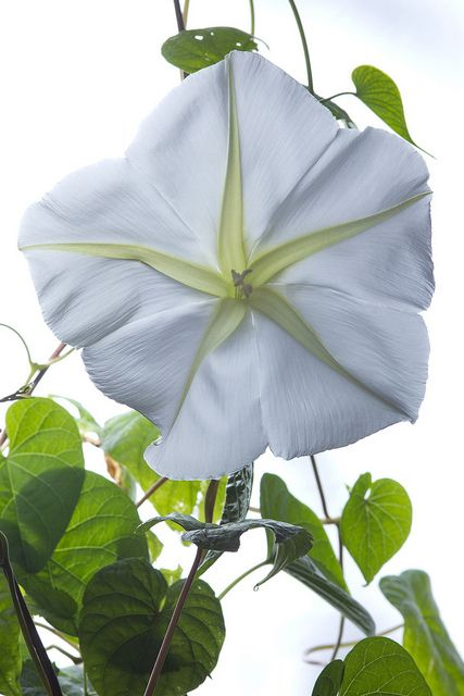 moonflower vines..blooms at night........creates a magical white spotlight in your garden.........LOVE.........