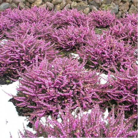 DEC-AVRIL: ERICA darleyensis Rose (Bruyère d'hiver Rose)