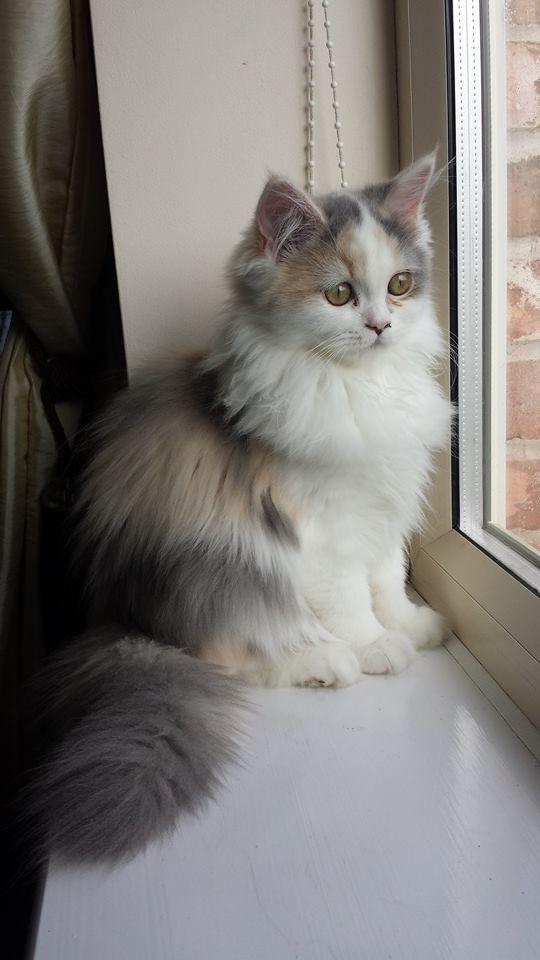 Persian cat adoption philippines