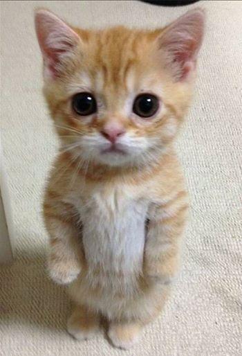 Munchkin cats hahhaha so adorbs More