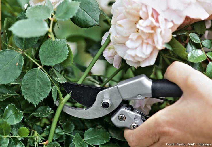 Les 25 meilleures id es de la cat gorie rosier anglais sur pinterest rose anglaise roses des - Quand bouturer les rosiers ...