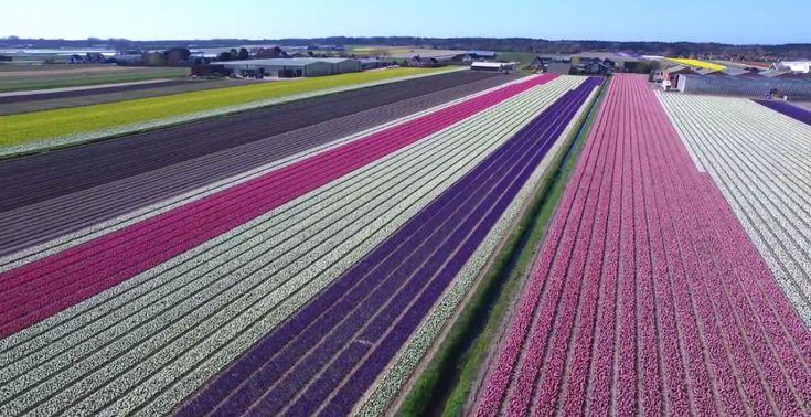 Drone mostra as belezas dos campos de tulipas na Holanda | Guia Viajar Melhor