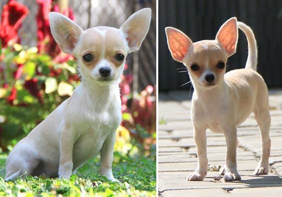 AnjingKita.Com - Quality Chihuahua Puppy On Sale - Anjing Chihuahua