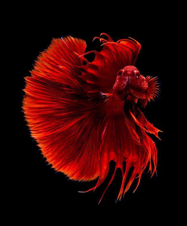 Portraits de Poissons d'Aquarium