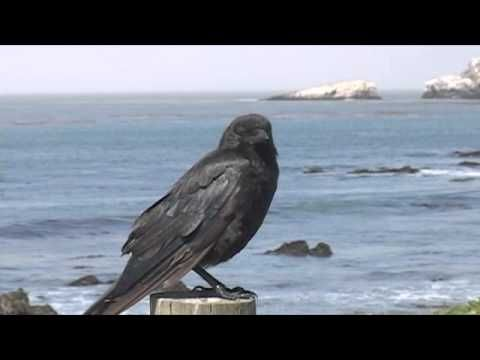 Corvid Identification Video: Ravens vs Crows, they're different! (A great primer on the visual, vocalization and behavioral differences, from the Raven Diaries.)