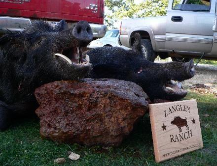Langley Ranch THE BEST WILD HOG HUNTING IN TEXAS wwwTexasWildHogHunting.com