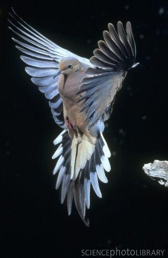 mourning dove- absolutely stunning