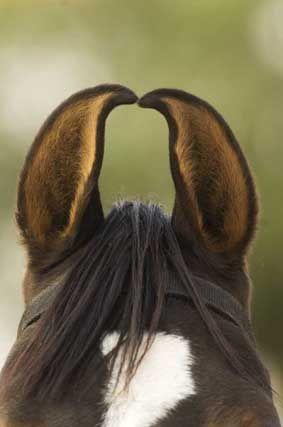 Orejas de un caballo Marwari