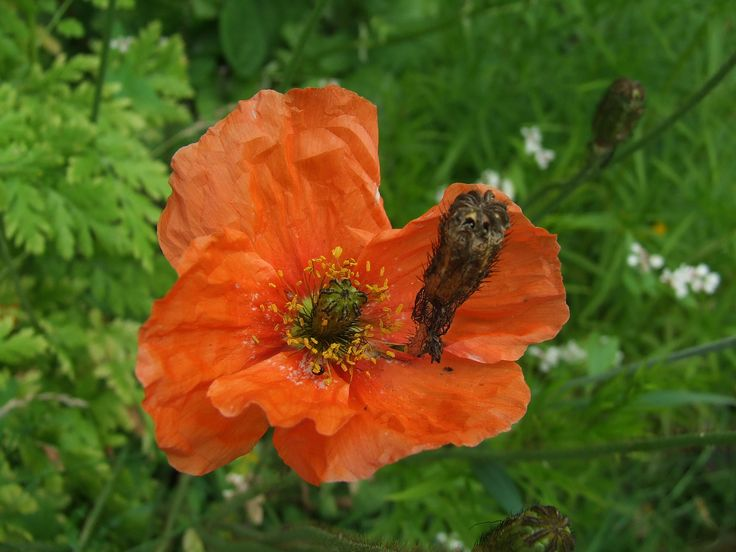 Ice poppy, sibirisk vallmo, Papaver croceum, Papaver nudicaule. Orange poppy, orange vallmo