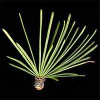 Tamarack leaf (needles)