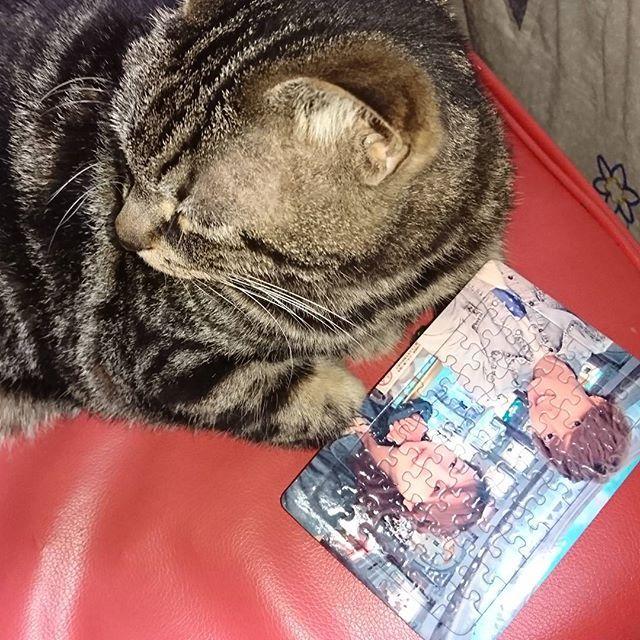 #彼氏 から かわいい#プレゼント を もらったから、 ねるくんに見せてみたけど 興味無さげ~笑 . #ジグソーパズル にするとか かわいすぎでしょ。やることが笑 . お部屋に飾ろう(*^▽^*)♥ . . #愛猫#猫#ねこ#スコティッシュフォールド#しましま#もふもふ#耳垂れてない#パパ猫#ねるねる#ねるくん#うちのアイドル#うちのイケメン#年下彼氏#急なプレゼント #cat#papa#boyfriend#present