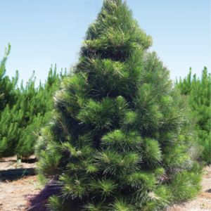 6.2 ft to 6.6 ft size Christmas Tree only $80