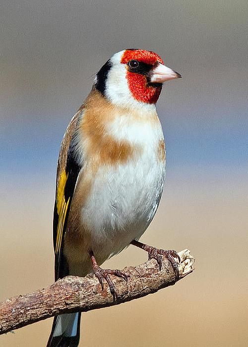 European Goldfinch by M S