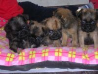 Cachorros de Grifón De Bruselas en venta