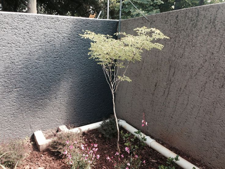 Also decided to change the color of the boundary wall to charcoal to match the color of the newly built retainer walls. The name of the color is Aniseed from Plascon.