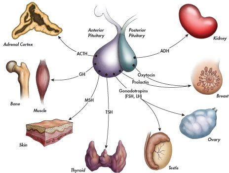 67 Best Pituitary Images On Pinterest Endocrine System Nurses And