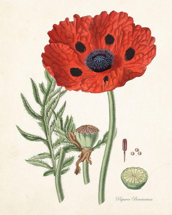 Rojo amapola No.6, Grabado Botánico, Giclee, impresión del arte, antiguo botánico, cartel, Botánico Vintage, Ilustración, estampado de flores, Collage