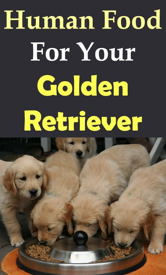 Human Food For Your Golden Retriever Dogs Puppy Puppies