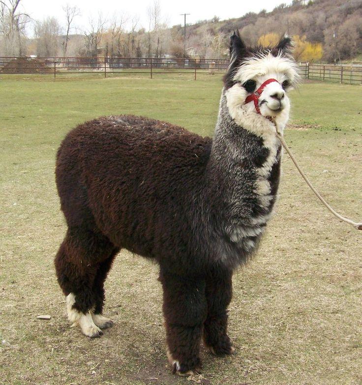 alpaca obsession.