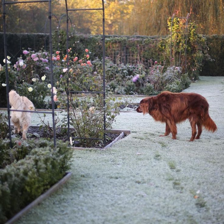 It was a frosty start to the day this morning - my poor dogs had chilly paws! The first hard frost really marks the changing season bringing to an end summer flowers and reminding me that the bulbs must go in. I am keeping my fingers crossed for some crisp dry weather in November. #inmygarden #frostymorning #cherishandrelish_november #thefloralseasons #autumndays #dahlias #cuttinggardencollective #embracingtheseasons #inspiredbynature #aseasonalshift #autumntowinter #gardenphotography