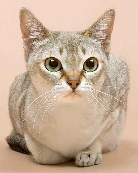 Singapura  they are the smallest cats in the world, females can be as little as 4 lbs