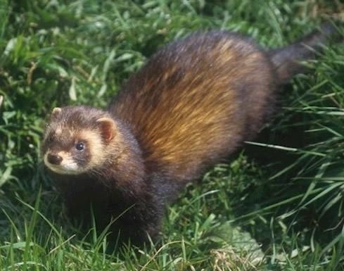 Name: European Polecat (Mustela putorius)