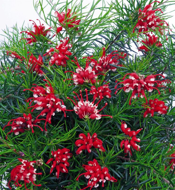 57 best images about grevilleas in australia on pinterest for Arbuste persistant plein soleil