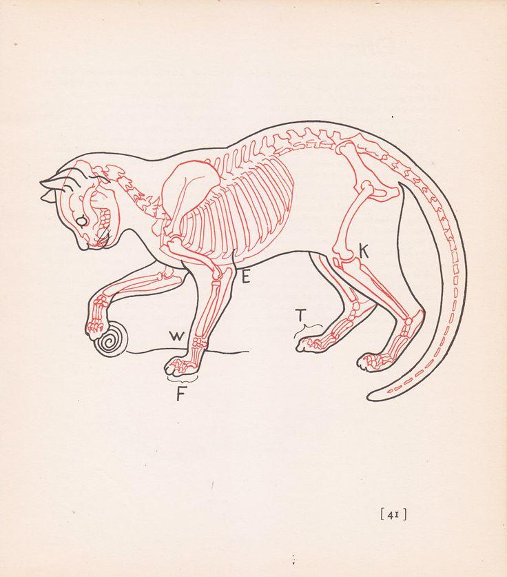 Анатомическая картинка кошки