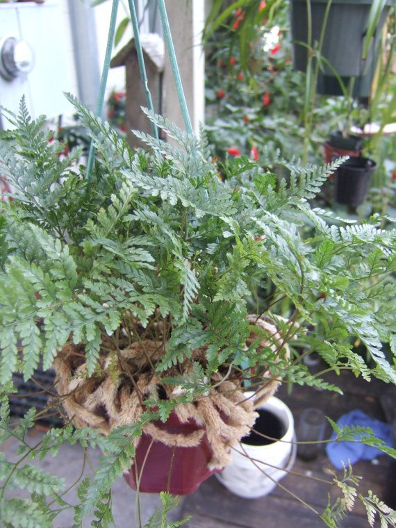 Rabbit's Foot Fern.. Mine is growing like crazy...after I learned how to take care of it ;)
