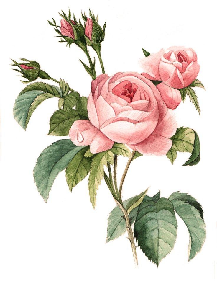 botanical illustration watercolor flowers roses