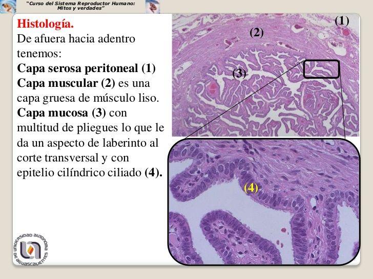 """""""Curso del Sistema Reproductor Humano:              Mitos y verdades""""Histología.                                          ..."""